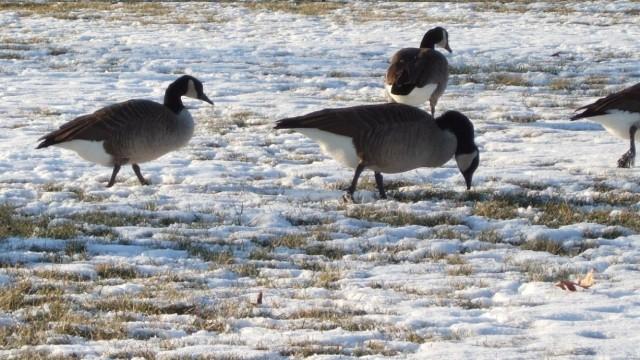 保护区封冻,人工投食助候鸟过冬