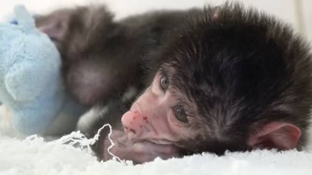 有爱~小狒狒被遗弃,饲养员当妈