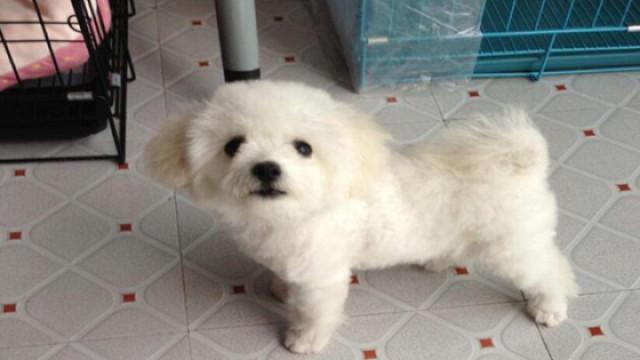 白色泰迪虽美丽,打理起来需仔细!