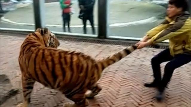 网友直播玩老虎,又是拖又是骑