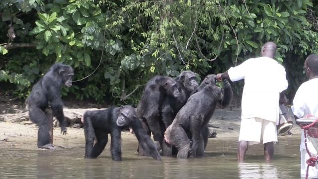 实验用大猩猩被遗弃小岛后的命运…
