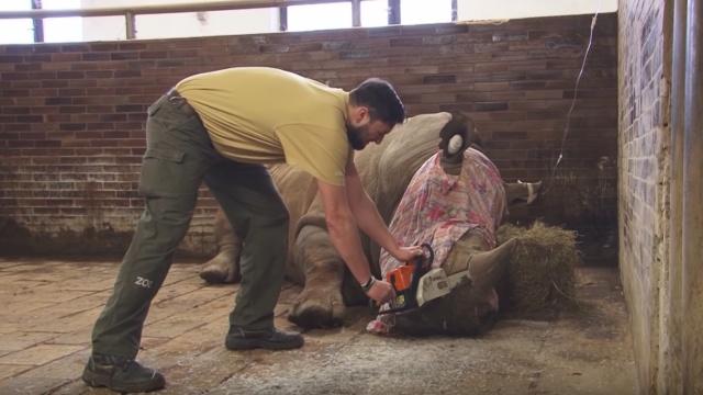偷猎猖獗,动物园无奈锯下犀牛角