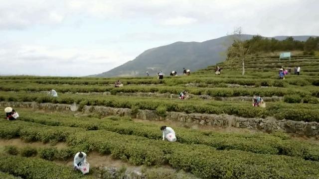 航拍:福建白茶发源地,春茶开采咯