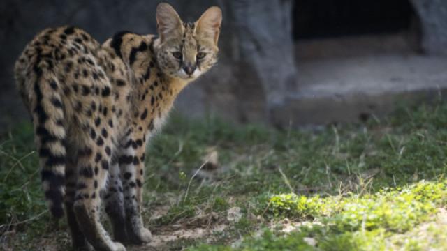 这种猫长得像豹子,胆子却如鼠