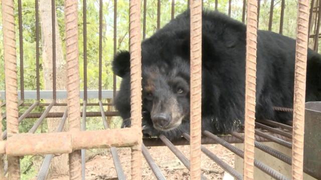查获6只无证饲养黑熊,好在没受虐待