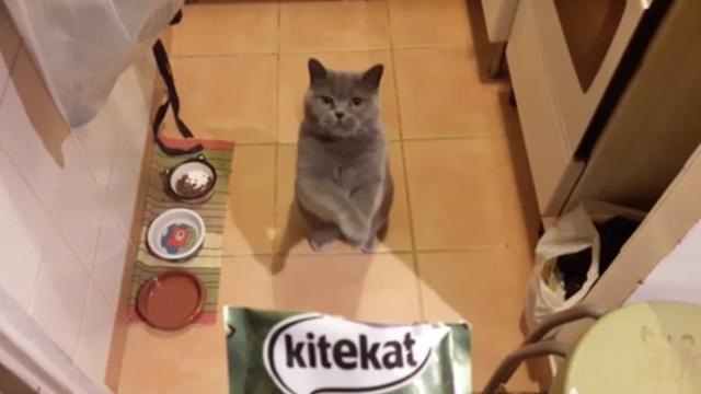 这猫馋到无尊严:作揖拜求主人投食