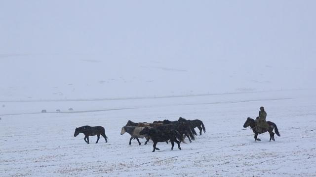山丹草原降大雪,牦牛骏马雪地觅食