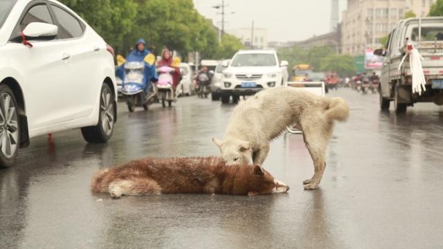 同伴被撞身亡,狗狗呜咽抽泣不离去