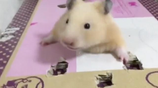 小仓鼠钻纸洞:朕有点胖要多试几次