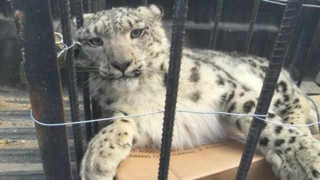 新疆阿勒泰惊现雪豹,疑未进食饿晕