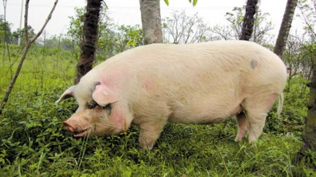 猪坚强被克隆!华大基因搞出了6只