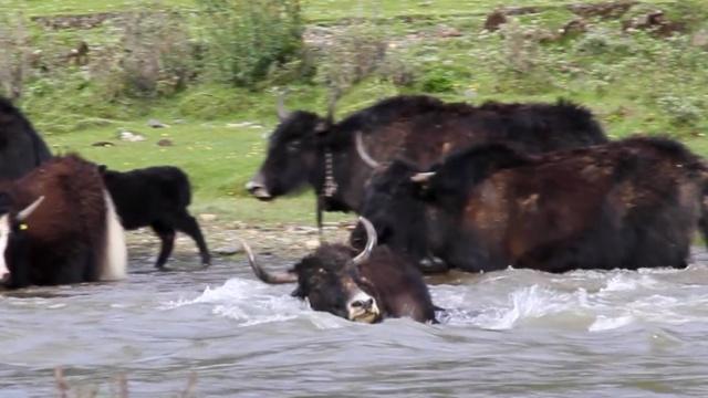 好惊险!牦牛过河遇涨水,险被冲走