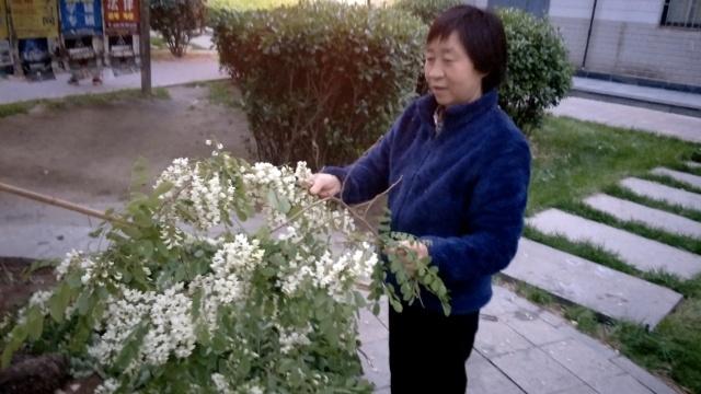 大妈持长竹竿捅树,不为撩鸟为槐花