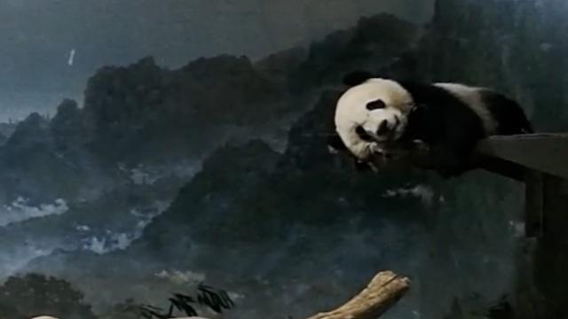 熊猫贝贝美美,华盛顿生活人气颇高