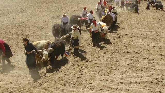 青海藏区春耕时:人们牵着牦牛开犁