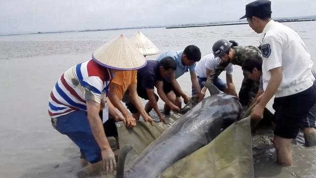 海豚受伤搁浅,官兵村民齐救援
