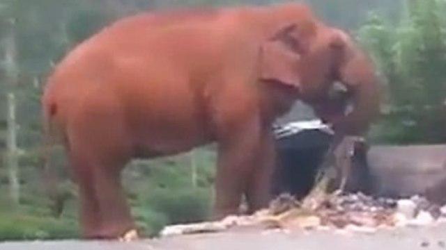 印度极度干旱,饥饿大象路边吃垃圾