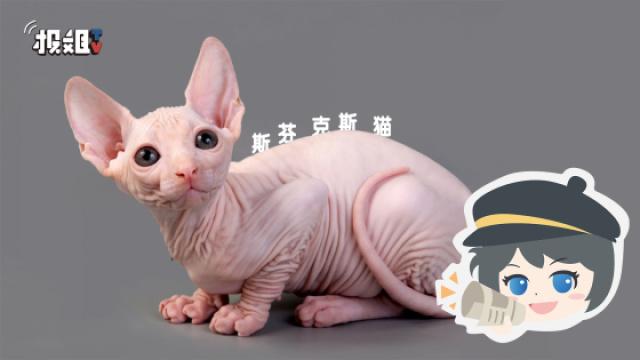 猫中另类,没有毛的斯芬克斯猫