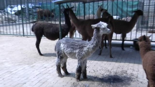 羊驼剃毛遭歧视,心中一万匹草泥马