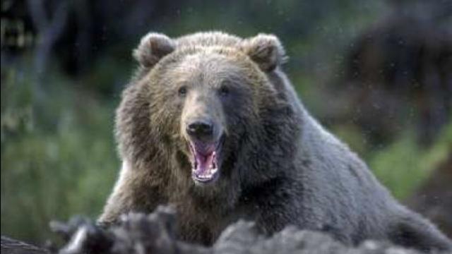 青海牧民遇3野生棕熊,兴奋得狂叫