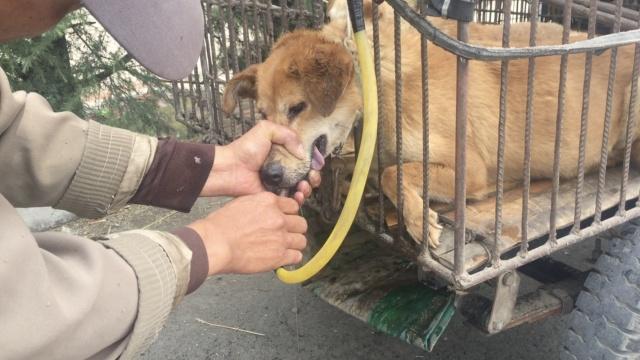 残忍!狗遭强行灌水增重,鲜血直流