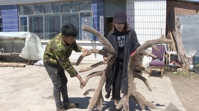 天山马鹿产下全国罕见鹿茸,重56斤
