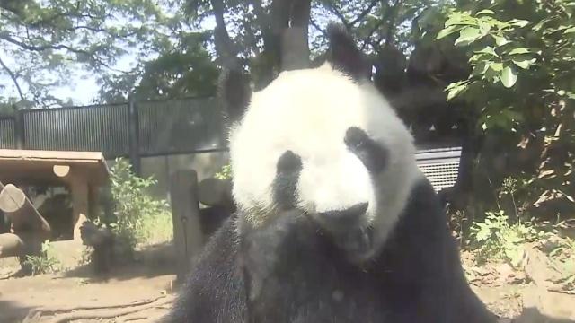 大熊猫产仔,动物园外餐厅股价暴涨