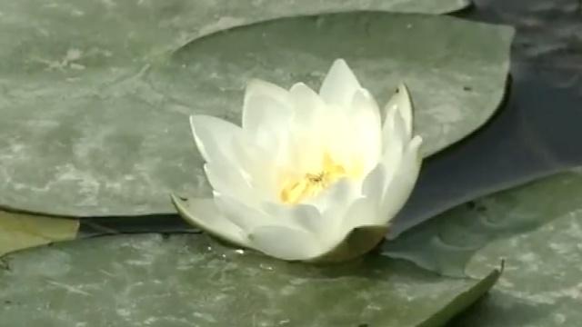 中国最大野生睡莲群,迎来最美花季