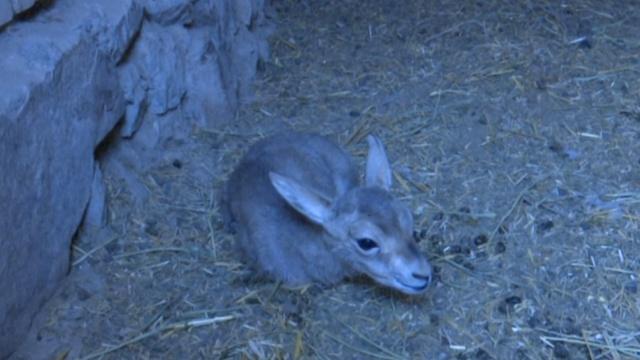 鹅喉羚幼崽遭遗弃,母羊喂奶不合口