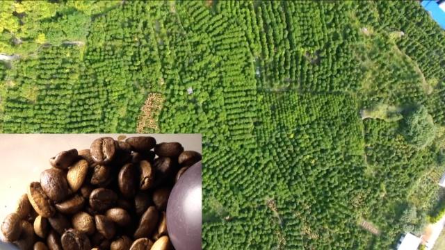 云南百年古咖啡林,村民石磨磨咖啡