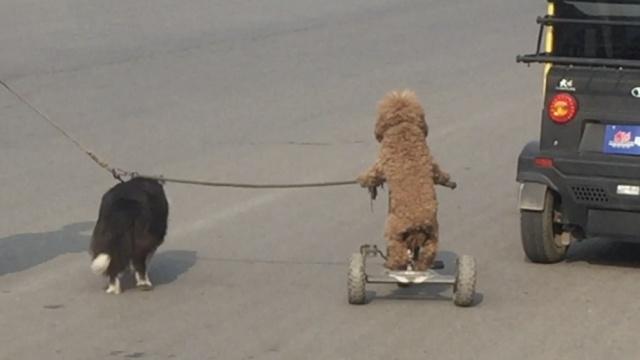 边牧拉车泰迪骑,都是狗待遇大不同