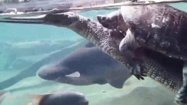 大鳄鱼载着老海龟,扭来扭去超和谐