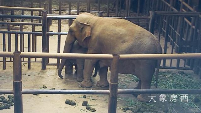 亚洲象产子全程视频曝光:母爱动容