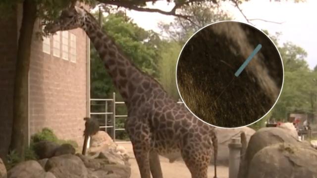 长颈鹿脖子痛,动物园给它针灸治疗