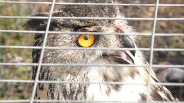 猫头鹰偷吃6只鸡,被铁丝网缠住挂伤
