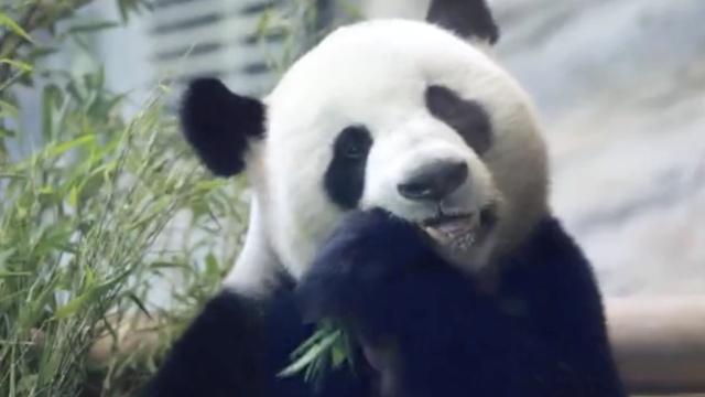 旅德大熊猫庆生,动物园备生日蛋糕
