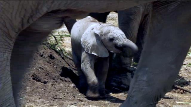 两个月大的非洲象宝宝有多大?