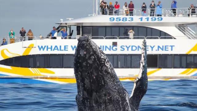 直播:一年一次!3万座头鲸汇悉尼港