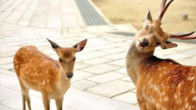 奈良的鹿太流氓,搞得政府都出动了