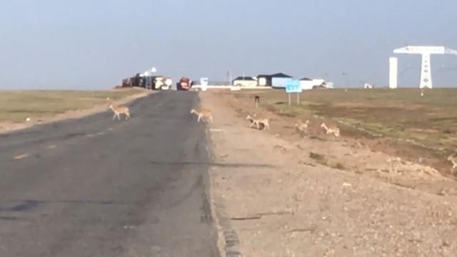 实拍:可可西里300藏羚羊穿青藏公路