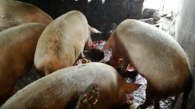 16头猪亲身示范,吃水果也不能减肥