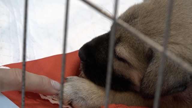 为土狗发声!50只中华田园犬被领养