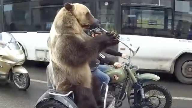 拉风!俄罗斯老铁骑摩托载棕熊上街