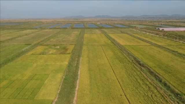青岛海水稻进入成熟期,准备收割啦