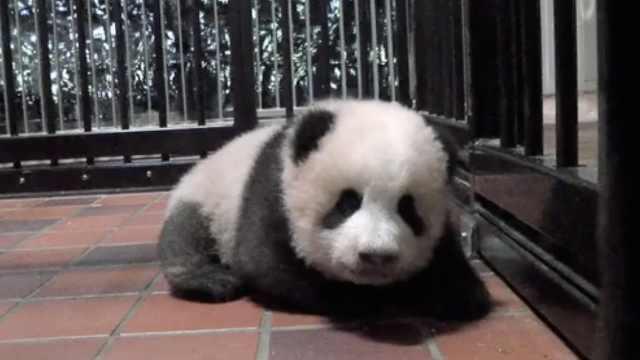 给大熊猫取名,在日本成了举国大事