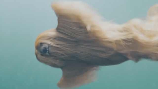 慢镜头看长毛狗游泳,恍如外星生物