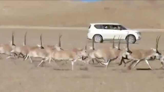 2越野车追碾藏羚羊,涉事司机已找到