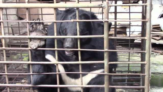 黑熊困铁笼14年,萌宠变300斤巨兽