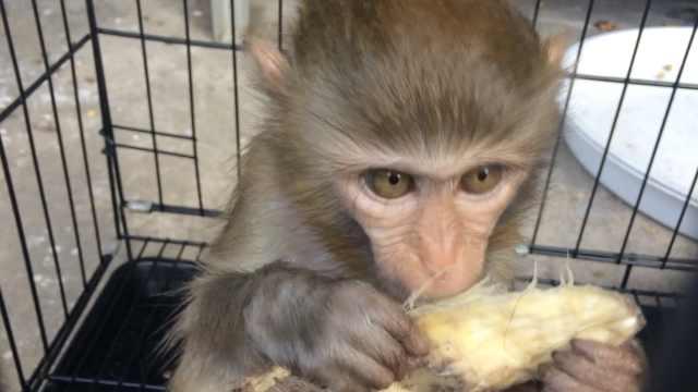 村民采药捡小猴,贪图好玩饲养半年