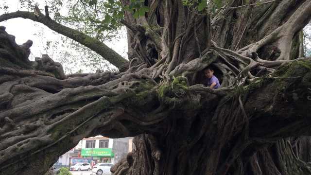 千年榕树造型奇特,变身儿童乐园